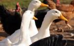 Бизнес-план по птицеводству в домашних условиях
