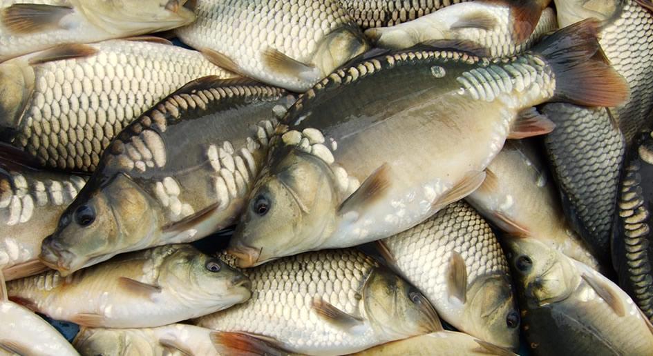 рыбы фото карпа
